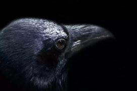 Вороны могут сопереживать