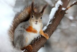 Как живет белка зимой?