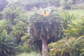 Дерево, пережившее динозавров
