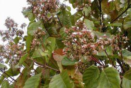 Хинное дерево &; спасение от малярии