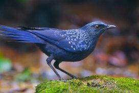 Лиловый дрозд: синяя птица счастья